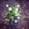 OBČANÉ PRO MEDLÁNKY si vás dovolují pozvat na  1. jarní brigádu zaměřenou na úklid a výsadbu v Přírodní zahradě u medláneckého rybníka začínáme v sobotu 29. 3. 2014 od […]